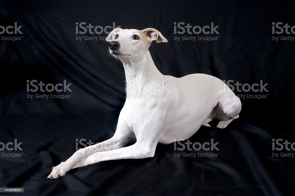 Whippet Good! royalty-free stock photo
