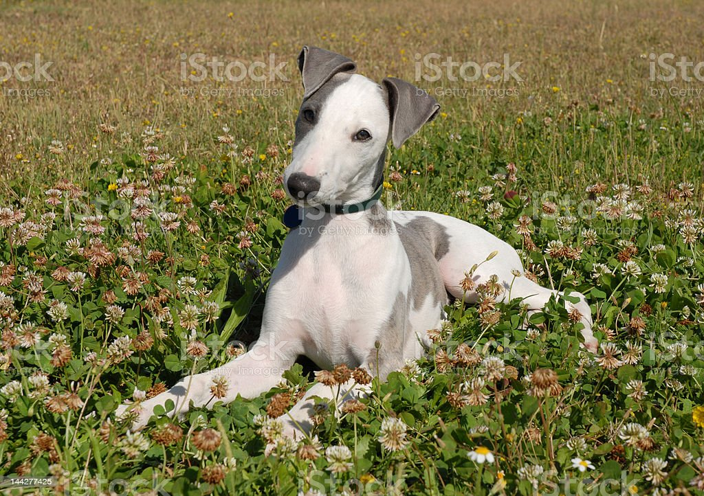 whippet in a field royalty-free stock photo
