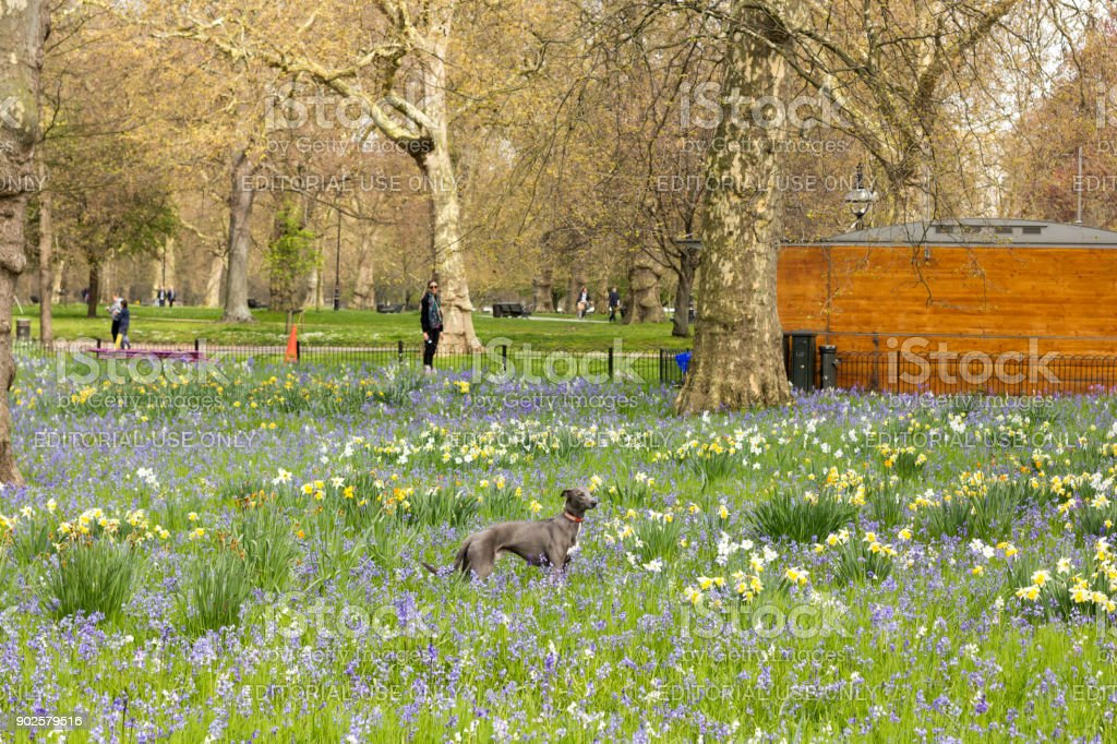 Whippet in Hyde Park, London stock photo