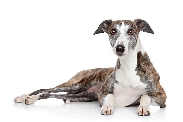 Whippet lying on a white background Young Whippet dog lying on a white background whippet stock pictures, royalty-free photos & images