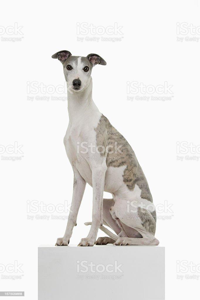 Whippet on a Podium stock photo