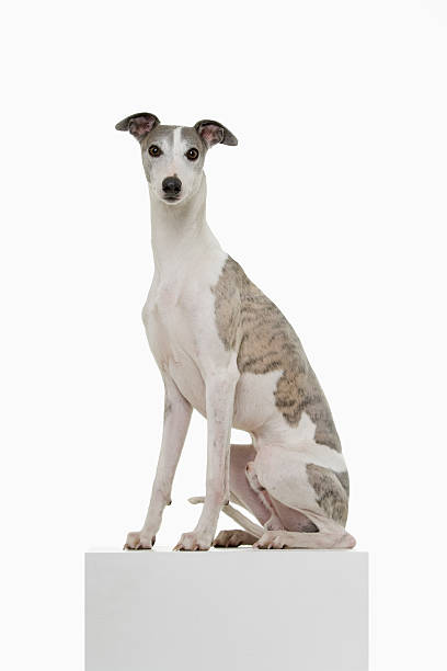 Whippet on a Podium  whippet stock pictures, royalty-free photos & images