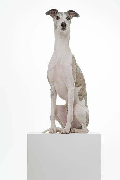 Whippet on a Podium Pedigree Dog ahead a white Background whippet stock pictures, royalty-free photos & images
