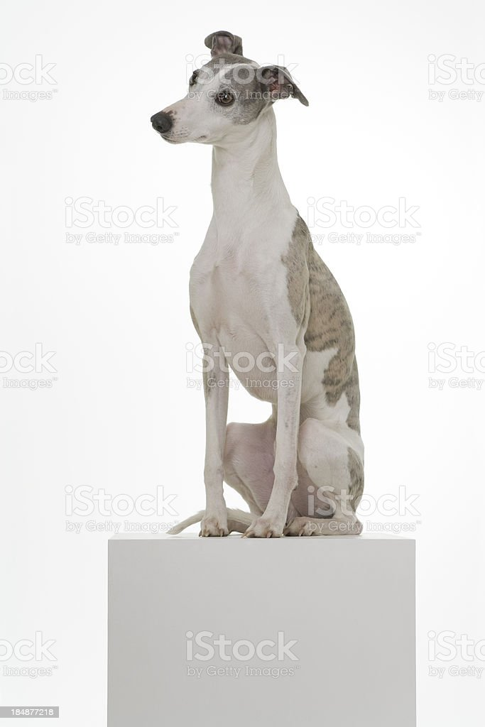 Whippet on a Podium royalty-free stock photo