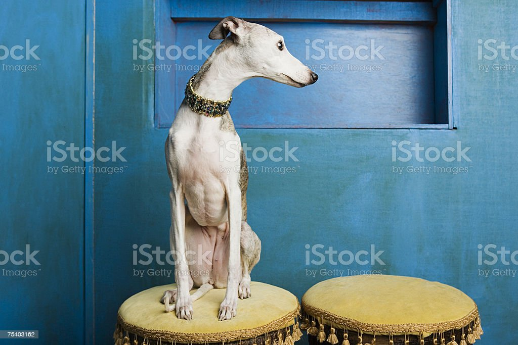Whippet on a stool stock photo
