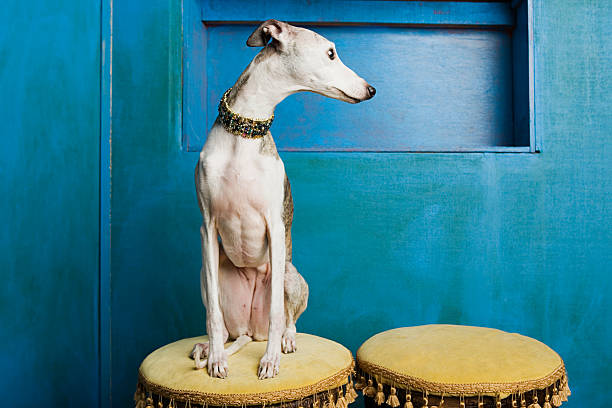 Whippet on a stool  whippet stock pictures, royalty-free photos & images