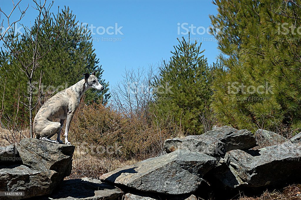 Whippet on stone wall royalty-free stock photo