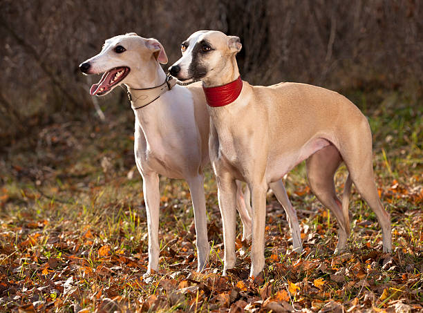 whippet dog whippet  on the background of an autumn forest whippet stock pictures, royalty-free photos & images