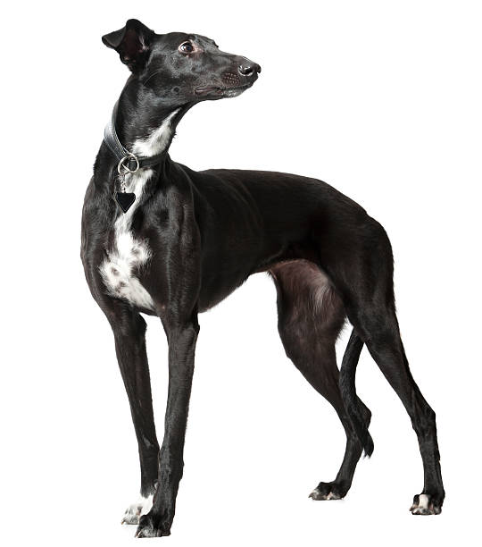 Whippet Whippet Black Dog: whippet stock pictures, royalty-free photos & images
