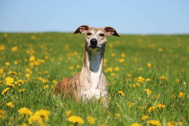 whippet portrait in dandelions beautiful brindle whippet is lying in a field of dandelions in the garden whippet stock pictures, royalty-free photos & images