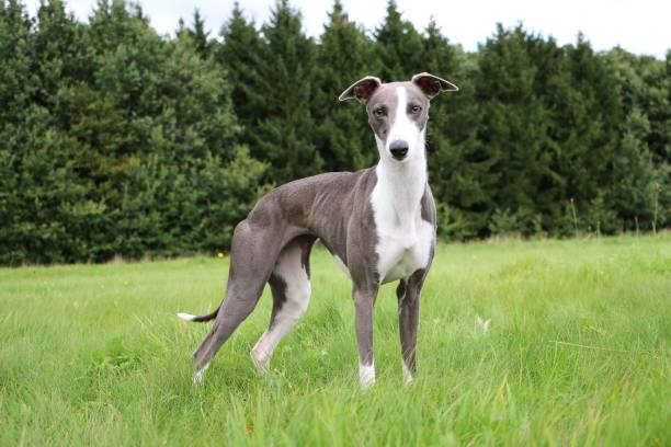 whippet portrait in the park beautiful whippet is standing in the park whippet stock pictures, royalty-free photos & images