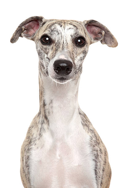 Whippet portrait on white background Whippet dog. Portrait on a white background  whippet stock pictures, royalty-free photos & images