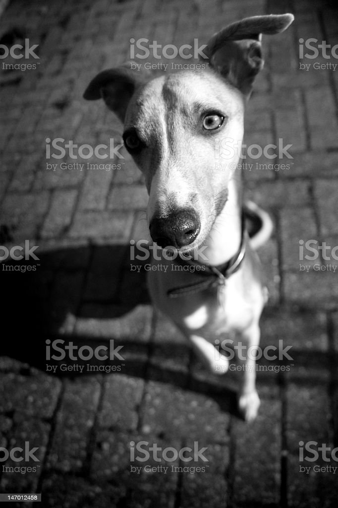 whippet portrait royalty-free stock photo