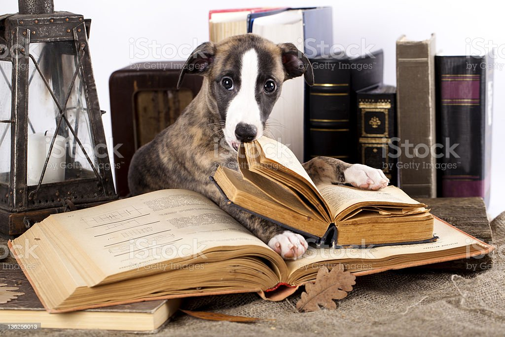 Whippet Puppy and book royalty-free stock photo