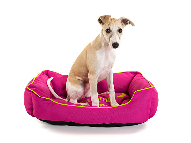 Whippet puppy sitting in dog bed Cute whippet puppy sitting in her pink dog bed isolated on white background sight hound stock pictures, royalty-free photos & images