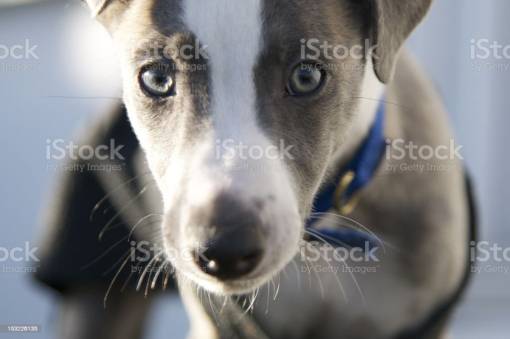 whippet puppy up close stock photo