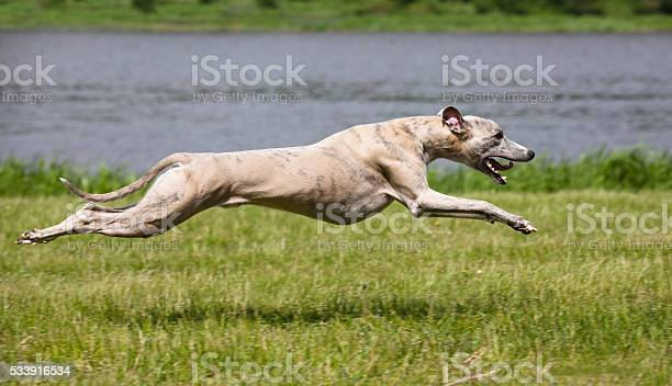 Whippet quickly runs picture id533916534?b=1&k=6&m=533916534&s=612x612&h=vgokdicbuvdr3s6a 7ksbdwz52lmnaw0hguxy agino=