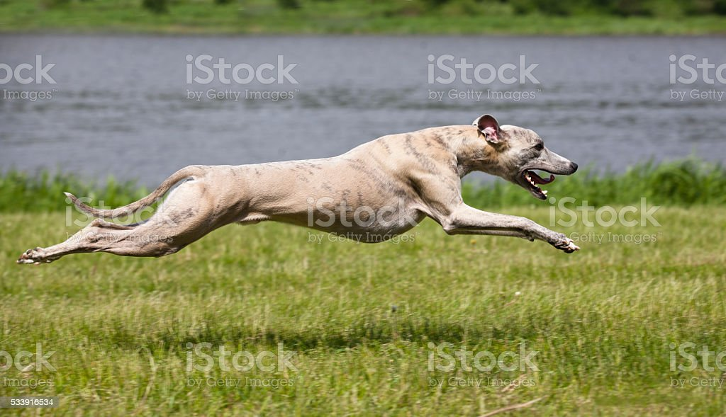 whippet quickly runs - Photo