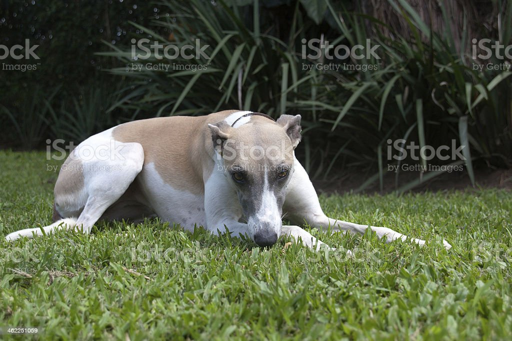 Whippet Relaxing On Garden Lawn royalty-free stock photo