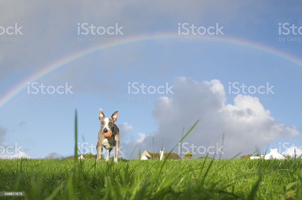 Whippet under a rainbow! royalty-free stock photo