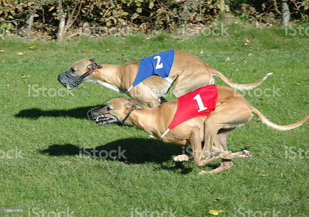 whippets royalty-free stock photo