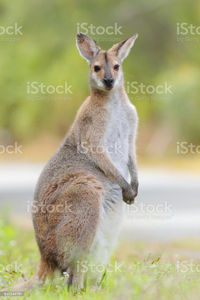 Whiptail wallaby (Macropus parryi) stock photo
