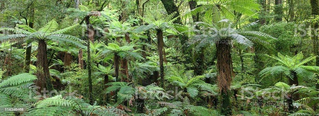 Whirinaki Forest Park giant tree ferns, New Zealand stock photo