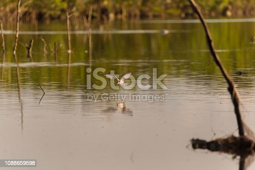 Whiskered Tern birds at a mangrove forest hunting fish and crabs a tranquil bird watching scene in Cebu province