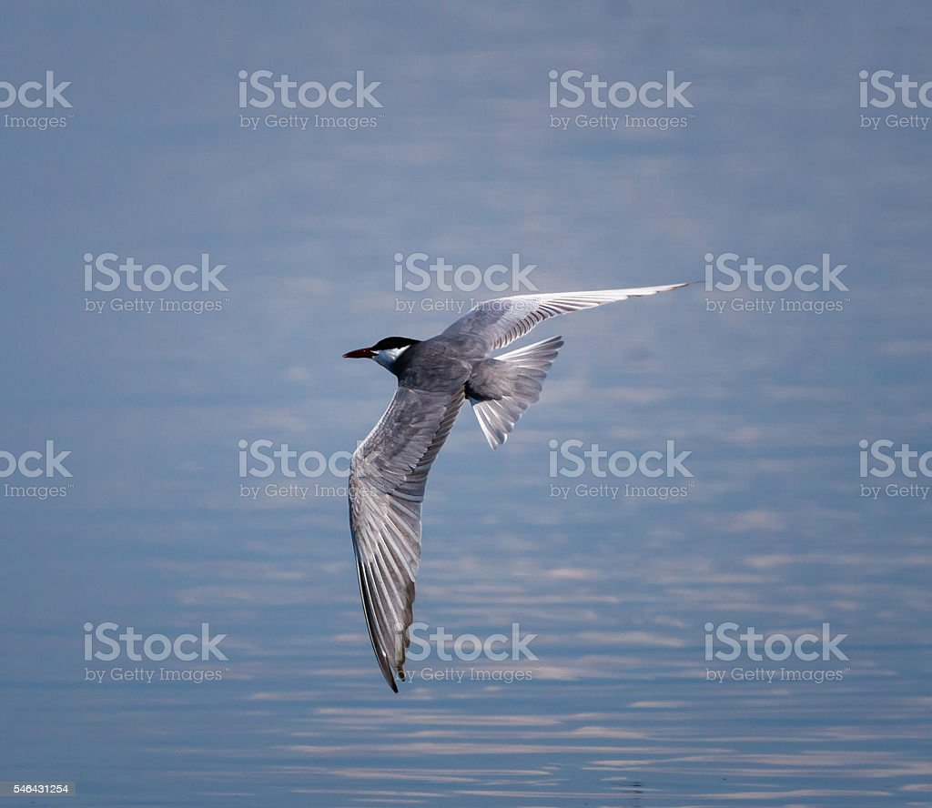 Whiskered Tern in flight stock photo