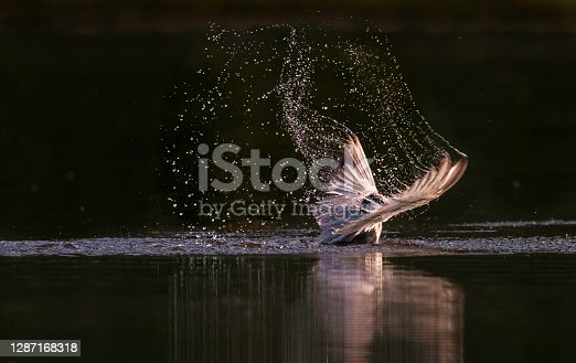 Whiskered tern landing on a pond in nature.
