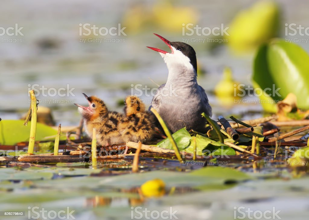 Whiskered tern with chicks in nest. stock photo