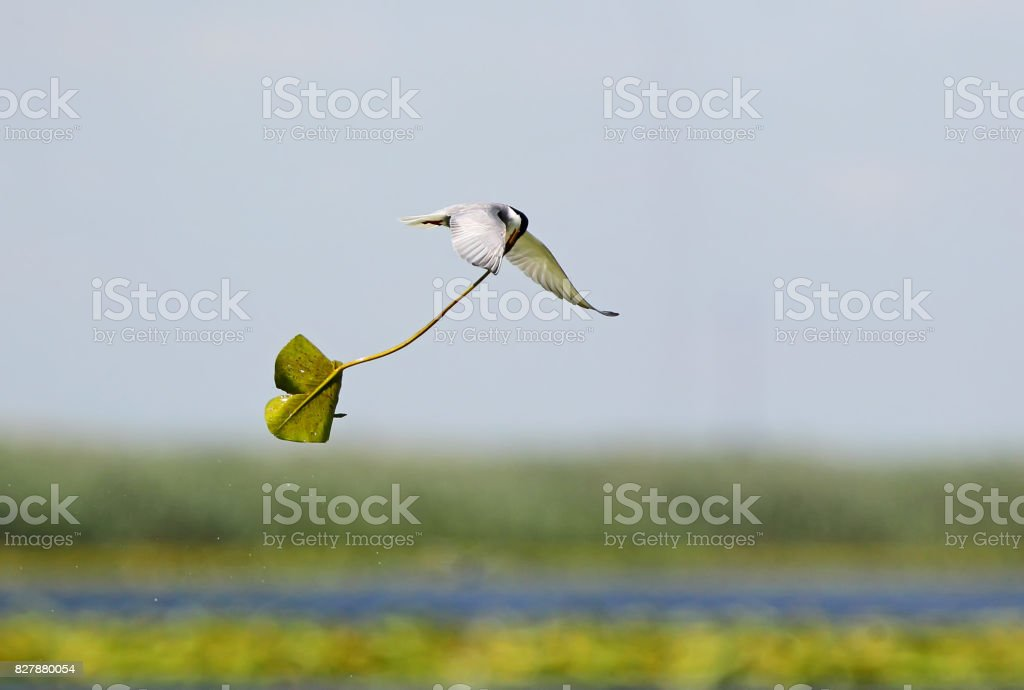 A whiskered turn brings material for building a nest stock photo