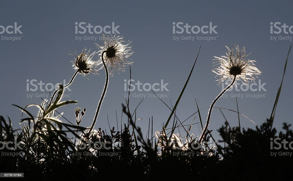 Whiskery Wildflowers -- Three-Flowered Avens stock photo