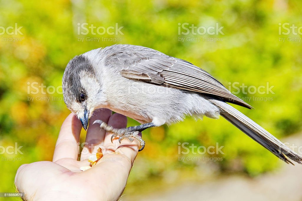 Whiskey Jack or Gray Jay Eating Nuts from a Hand stock photo