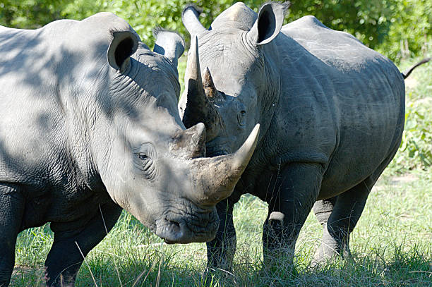 Whispering Rhinoceroses Two rhinoceroses chatting in the South African shade. aegis stock pictures, royalty-free photos & images