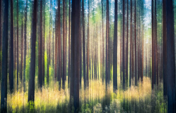 whispering trees. this effect has been made by swinging the camera. this has been taken by sunny summer day in pine forest nurmijärvi, finland - impressionist painting stock photos and pictures