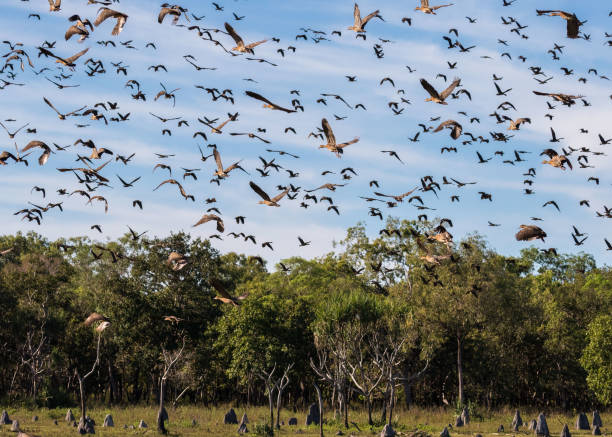 whistling ducks take flight, nt, australia - janet k scott stock pictures, royalty-free photos & images