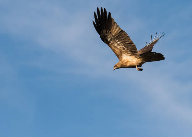 a whistling kite flying high over the mary river flood plain, nt, australia - janet k scott stock pictures, royalty-free photos & images
