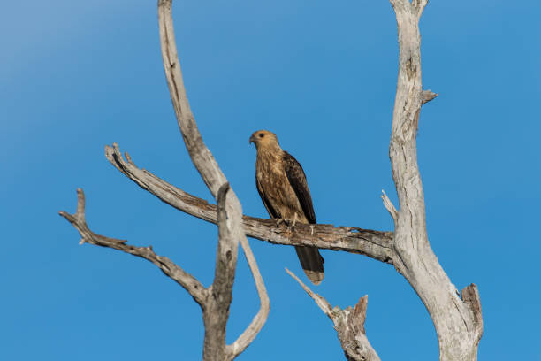 a whistling kite flying perched on a branch high over the mary river flood plain, nt, australia - janet k scott stock pictures, royalty-free photos & images