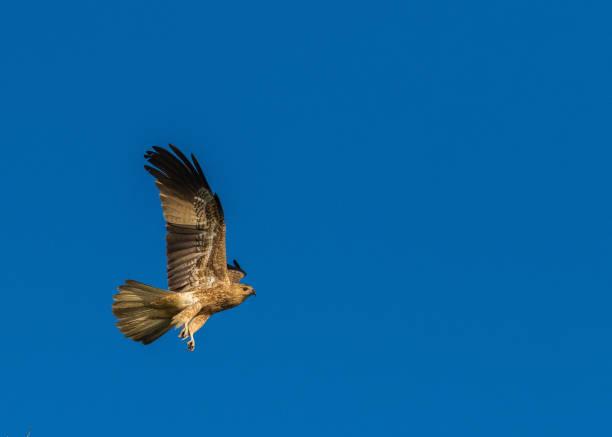 whistling kite in flight, nt, australia - janet k scott stock pictures, royalty-free photos & images