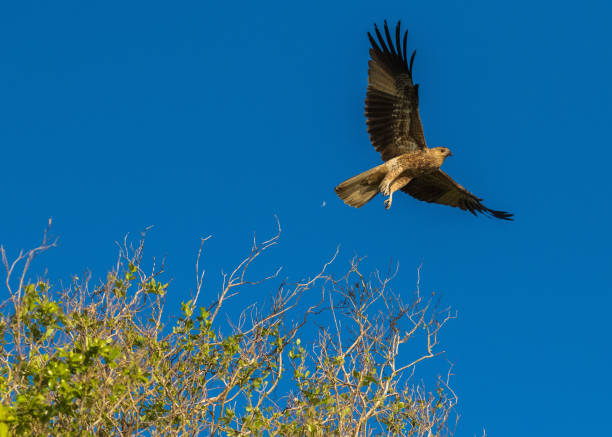 whistling kite in flight over the tree tops, nt, australia - janet k scott stock pictures, royalty-free photos & images
