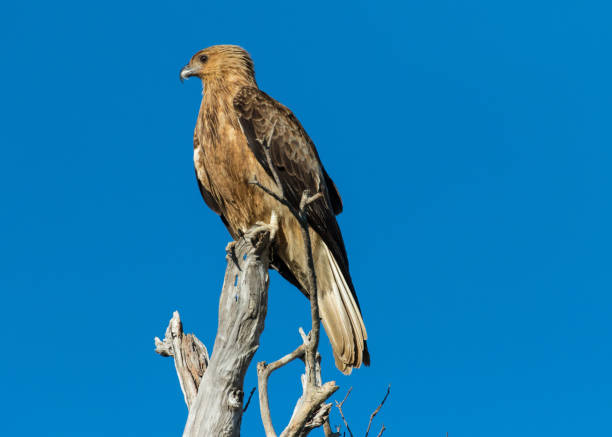 a whistling kite perched on a branch over the mary river flood plain, nt, australia - janet k scott stock pictures, royalty-free photos & images