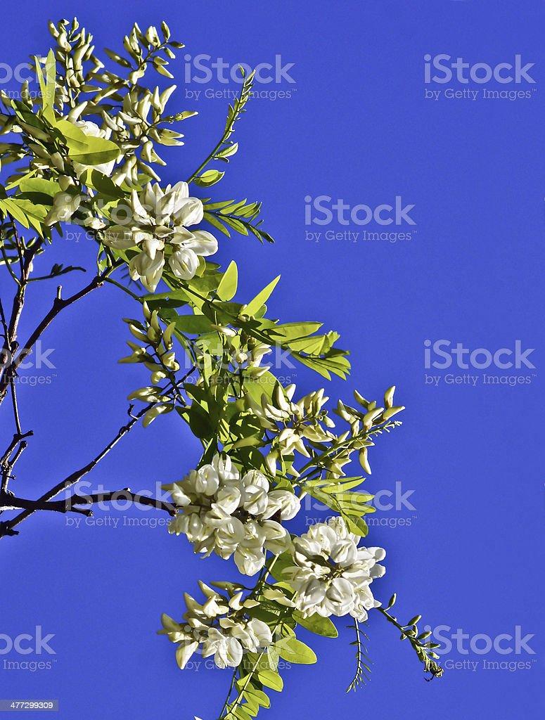White acacia blossoms. stock photo
