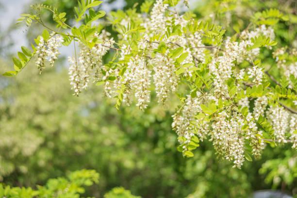 White acacia flowers stock photo