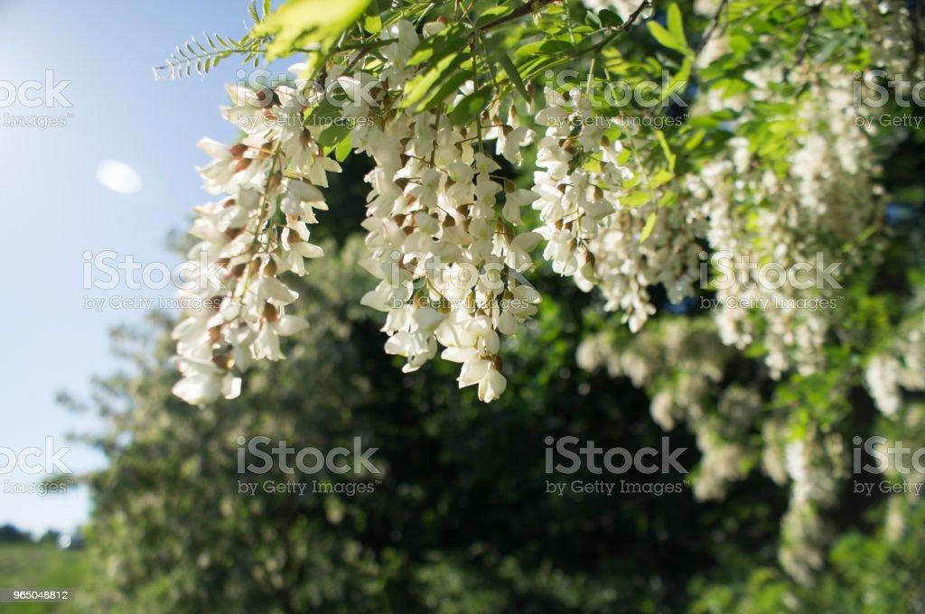 White acacia flowers royalty-free stock photo