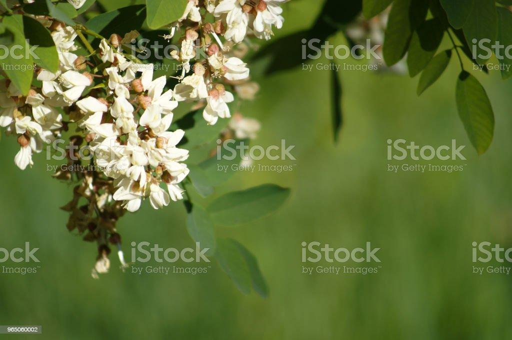 White acacia flowers zbiór zdjęć royalty-free