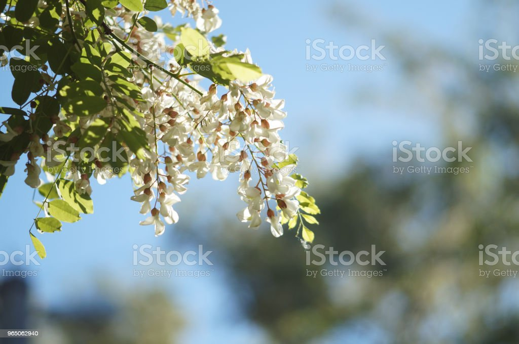 White acacia flowers royalty-free stock photo