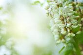 Abundant flowering acacia branch.