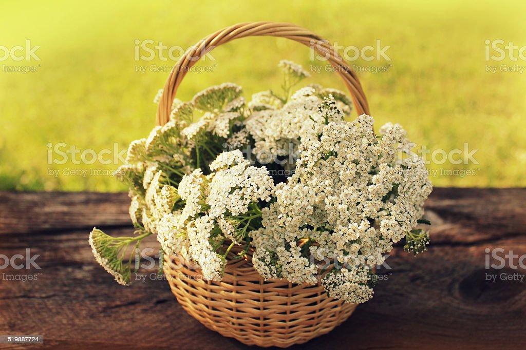 white Achillea Millefolium in basket stock photo