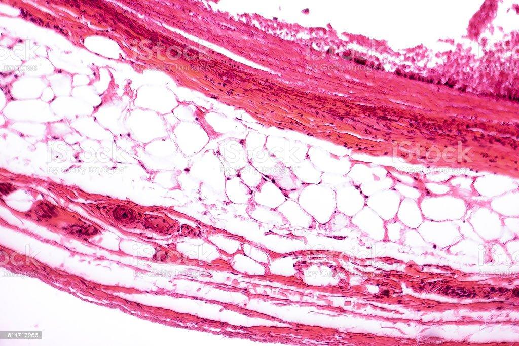 White adipose tissue stock photo